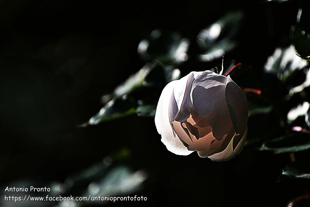 Photo in Nature #rose #rosa #natureza #nature #ypa2013 #translucent #translucido #branco #white #flower #flor #fleur #wallpaper #papel de parede #petals #petalas