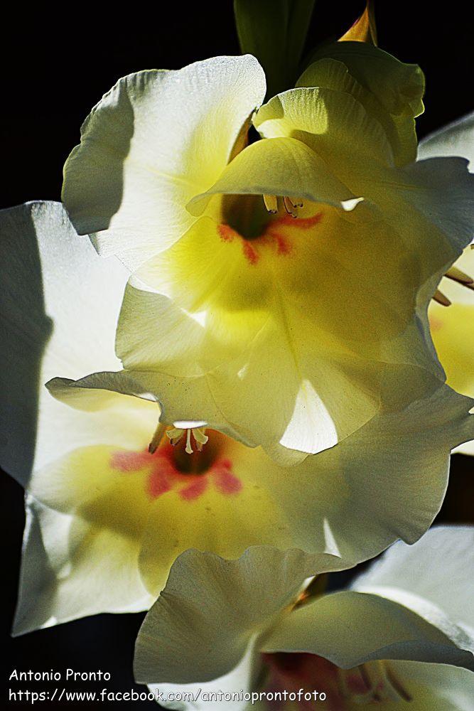 Photo in Nature #natureza #nature #branco #amarelo #white #yellow #ypa2013 #flor #flower #lirio #blanco #amarillo #blanche #jaune #fleur #close-up #petals