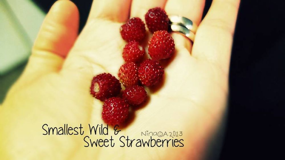 Photo in Random #smallest strawberries #wild and sweet #strawberries #red