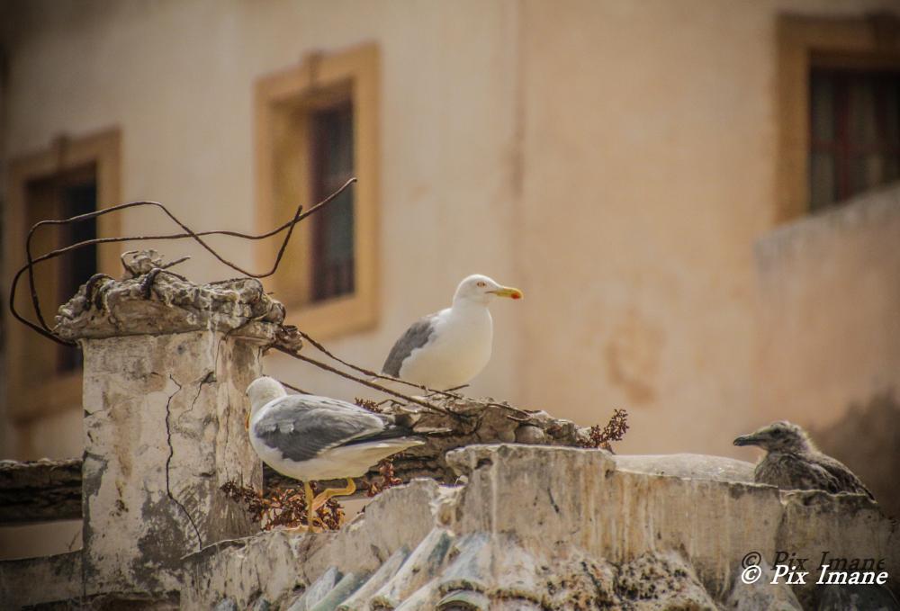 Photo in Travel #seagulls #essaouira #morocco #travel #birds #animals