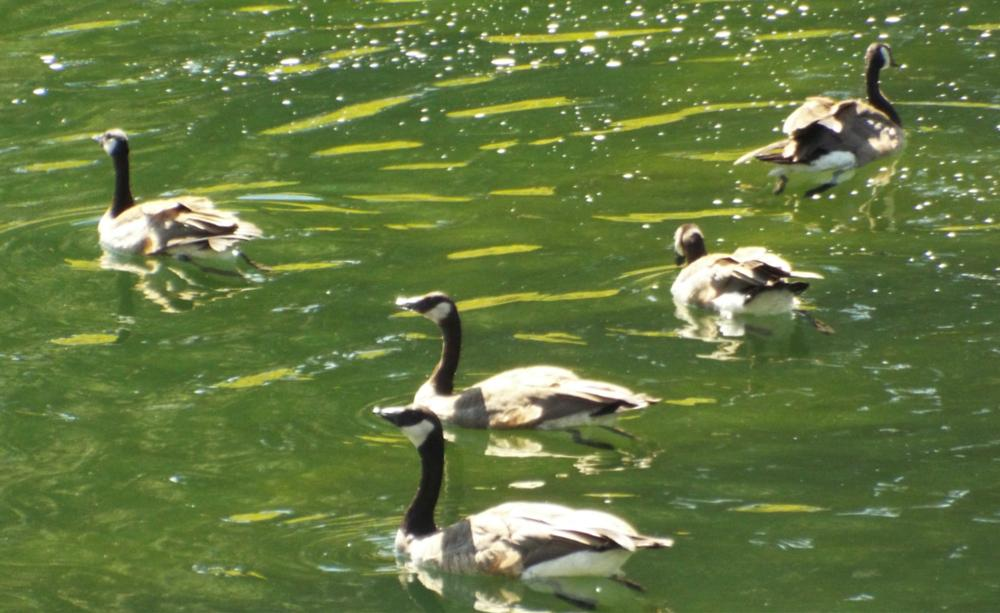 Photo in Nature #birds #geese #rivers #random shots