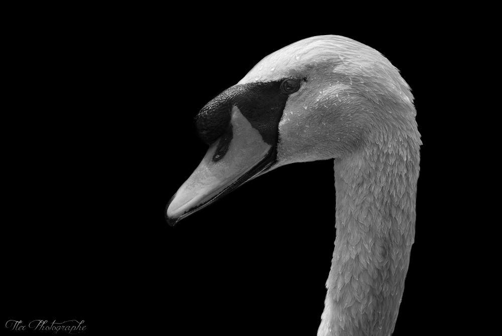 Photo in Animal #ypa2013 #swan #cygne #animal #blackandwhite