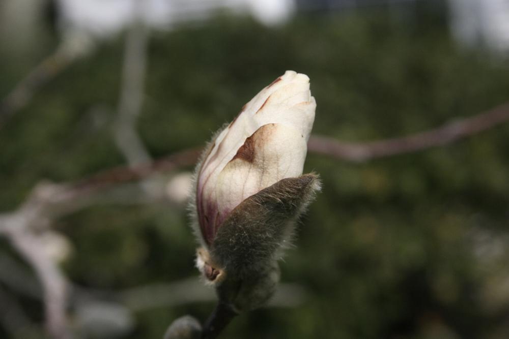 Photo in Landscape #magnolia #spring #kentucky #bluegrass #flowers