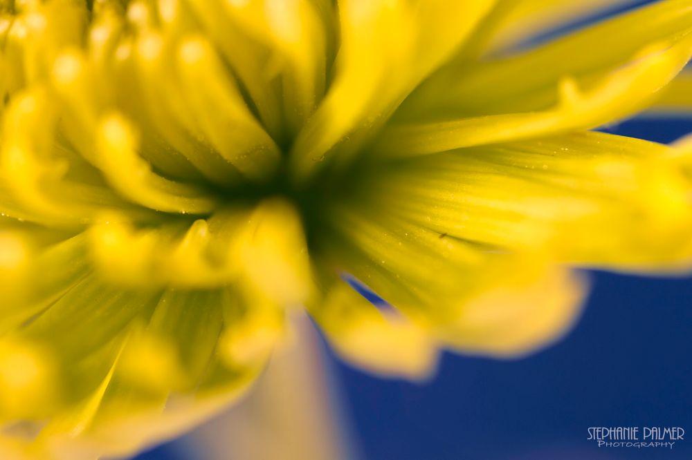 Photo in Macro #green #chrysanthemum #blue #macro #nature #flower #spring #indoor #studio