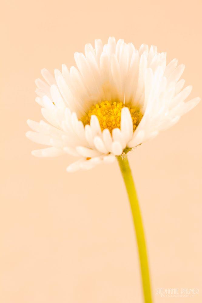Photo in Macro #white #yellow #daisy #macro #flower #nature #studio #indoor #groundcover