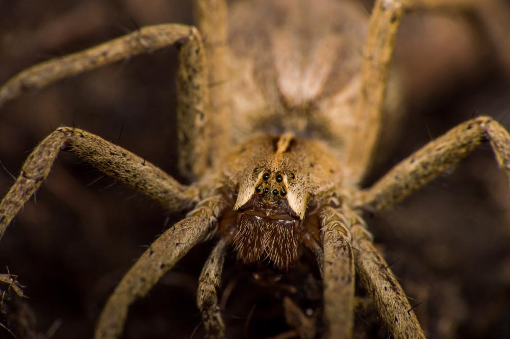 Photo in Macro #raynox dcr 250 #spider #arachnid #bug #macro #nursery web spider