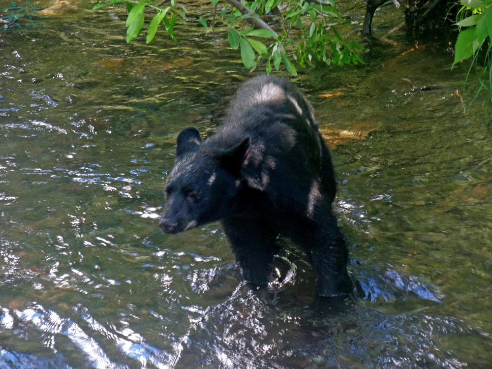 Photo in Animal #black bear #animals #alaska