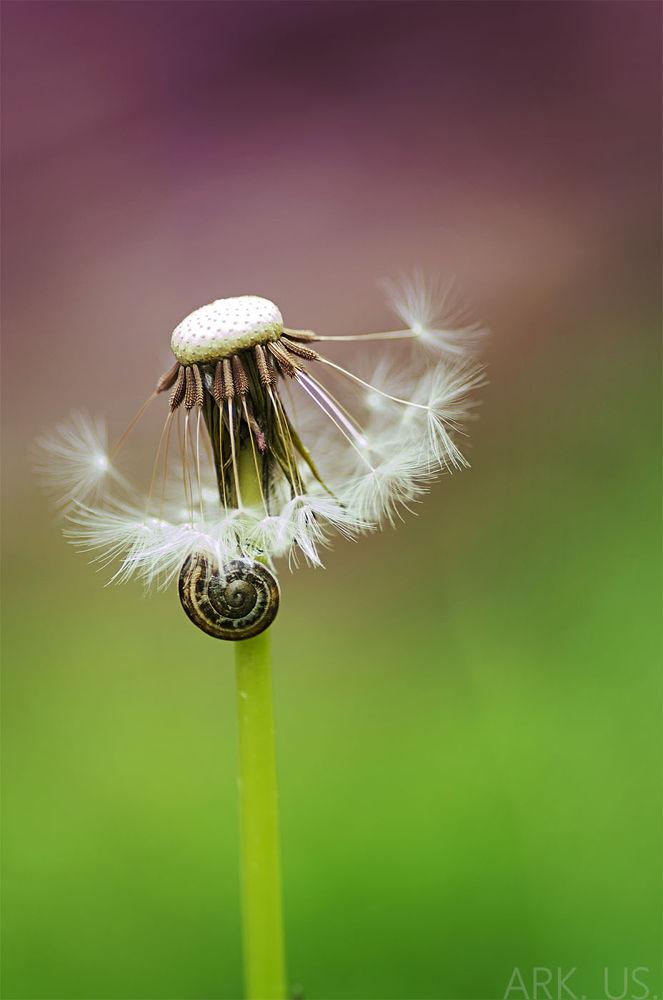 Photo in Macro #nature #dandelion #details #snail #colors