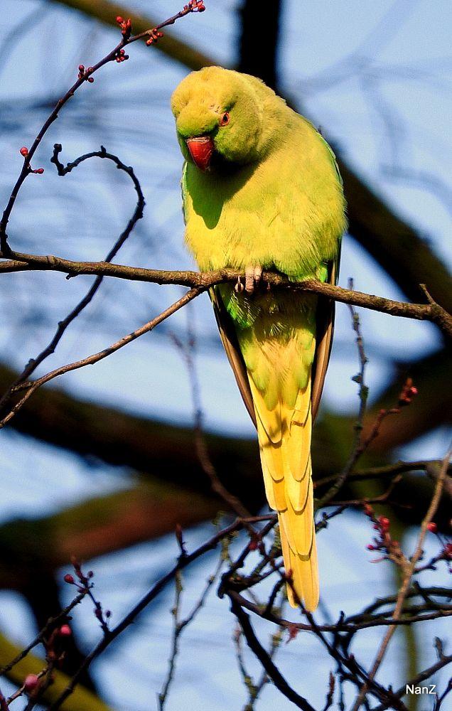 Photo in Animal #ring-necked parakeet #sun #winter #nature #animal #bird