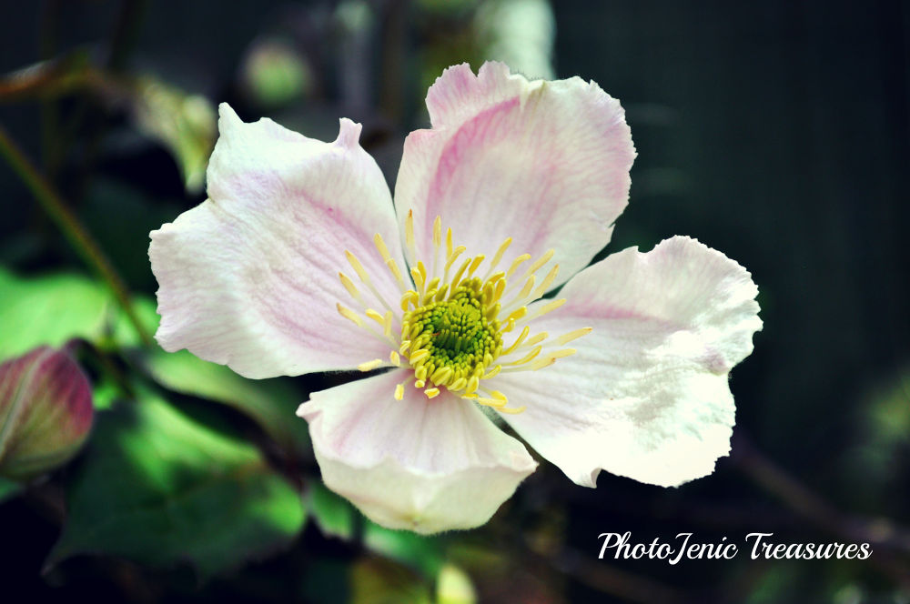 Photo in Nature #clematis #photojenic #treasures #pretty #flower #nature #bloom #blossom #summer