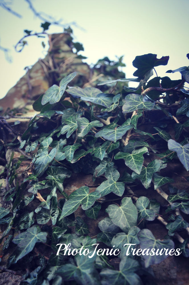 Photo in Nature #ivy #photojenic #nature #treasures #green #tree #leaves #leaf