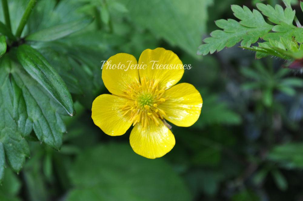 Photo in Nature #garden #cumbria #photojenic #treasures #pretty #nature #buttercup #flower #yellow #green