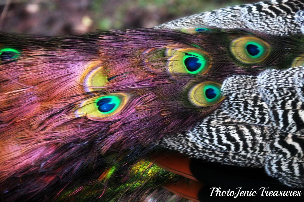 Photo in Random #peacock #bird #zoo #wild #animal #feather #south #lakes #photojenic #treasures #colour #eye