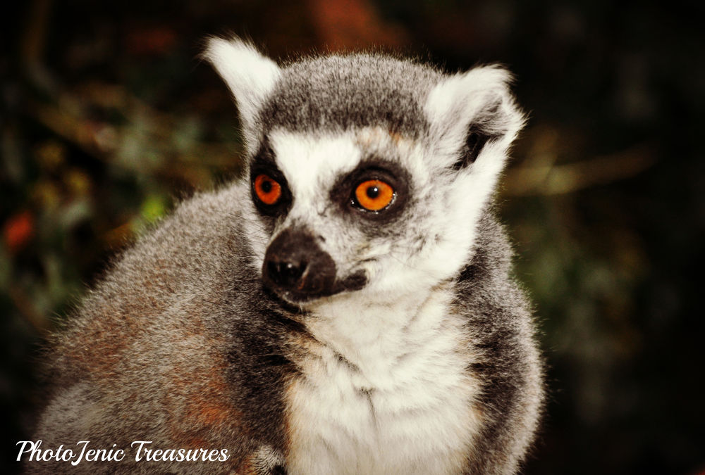 Photo in Animal #lemur #dalton #zoo #south #lakes #wild #animal #cumbria #eyes #cute #photojenic #treasures