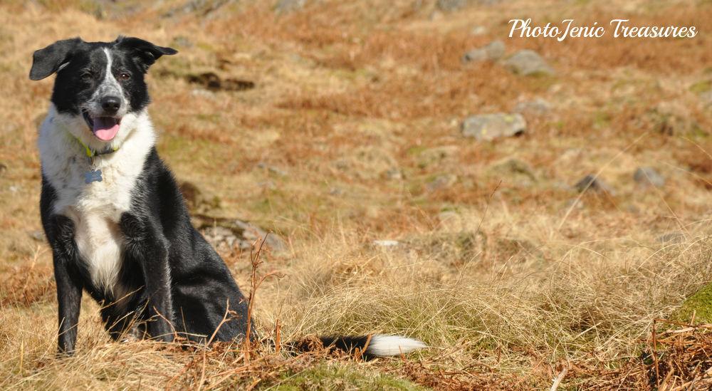 Photo in Animal #animal #dog #photojenic #treasures #border #collie #fells #valley #black and white