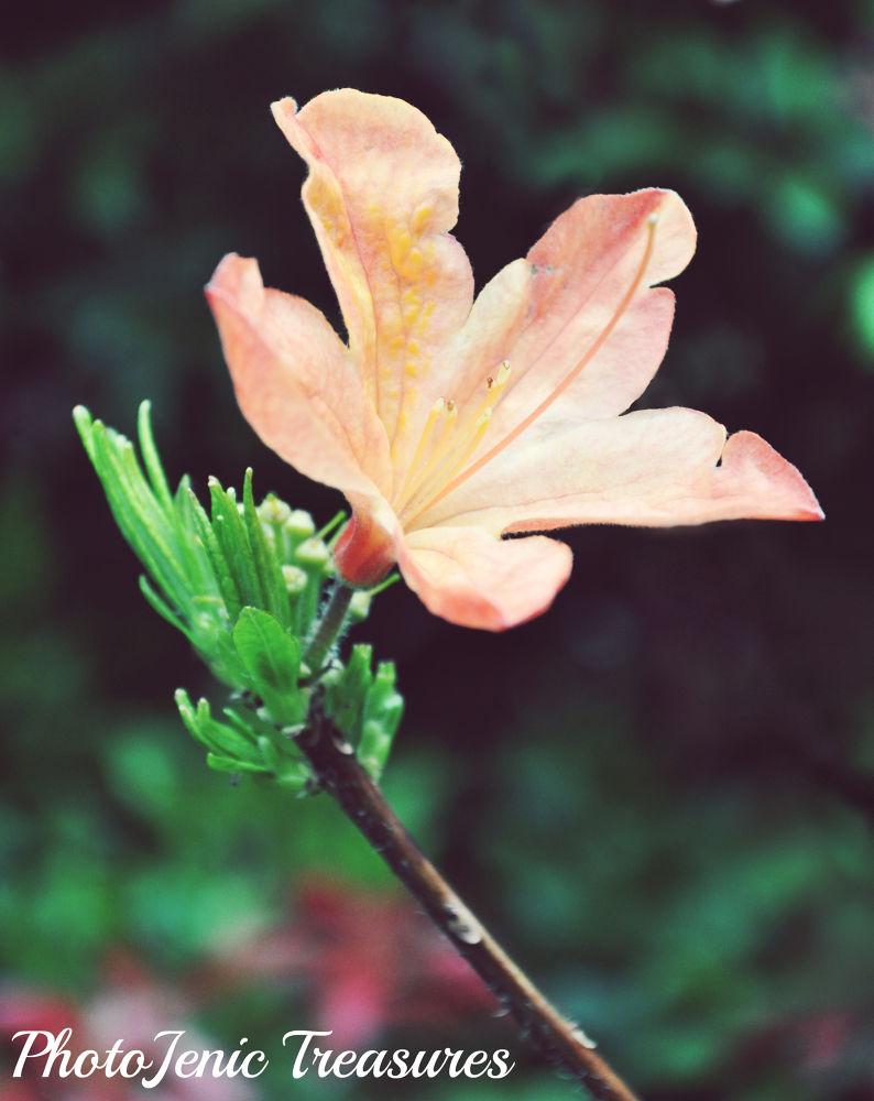 Photo in Nature #peach #flower #photojenic treasures #pretty #summer