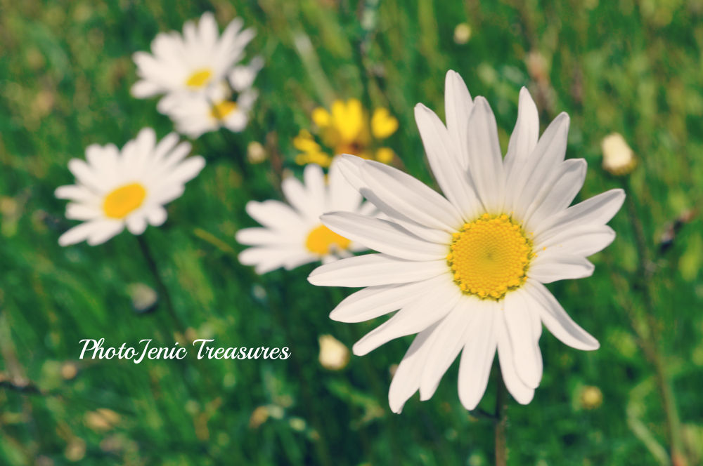 Photo in Nature #daisy #daisies #dog #flower #photojenic treasures #green #white