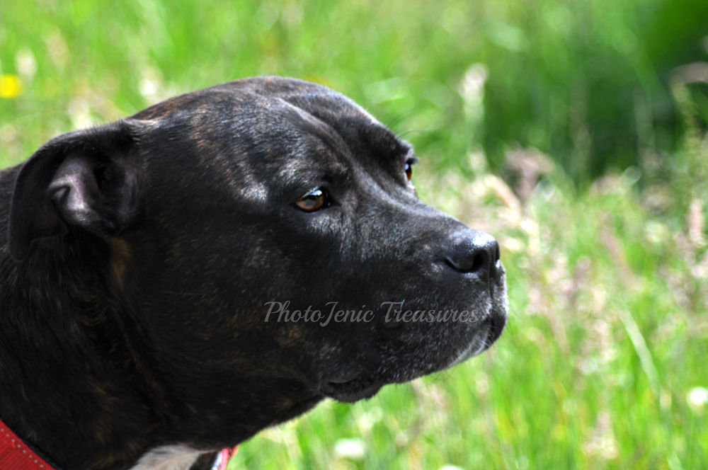 Photo in Animal #stanley #dog #staffie #animal #photojenic treasures