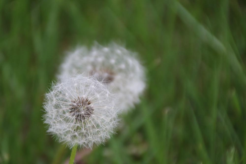 Photo in Nature #taraxacum #löwenzahn #butterblume #pusteblume
