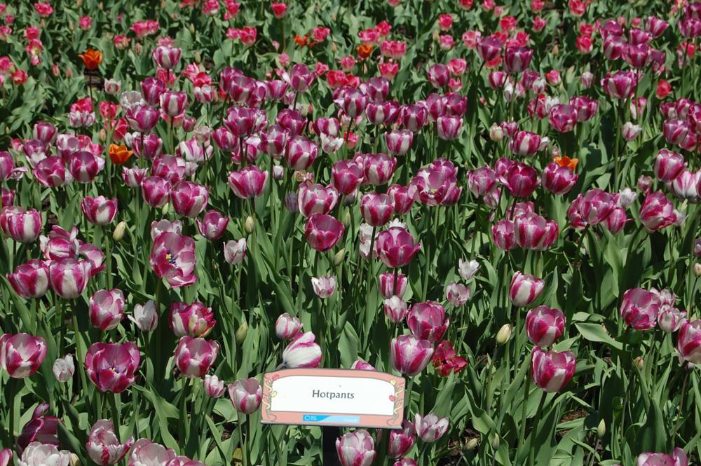 Photo in Nature #canadian #tulip #festival #ottawa #canada #dow's lake