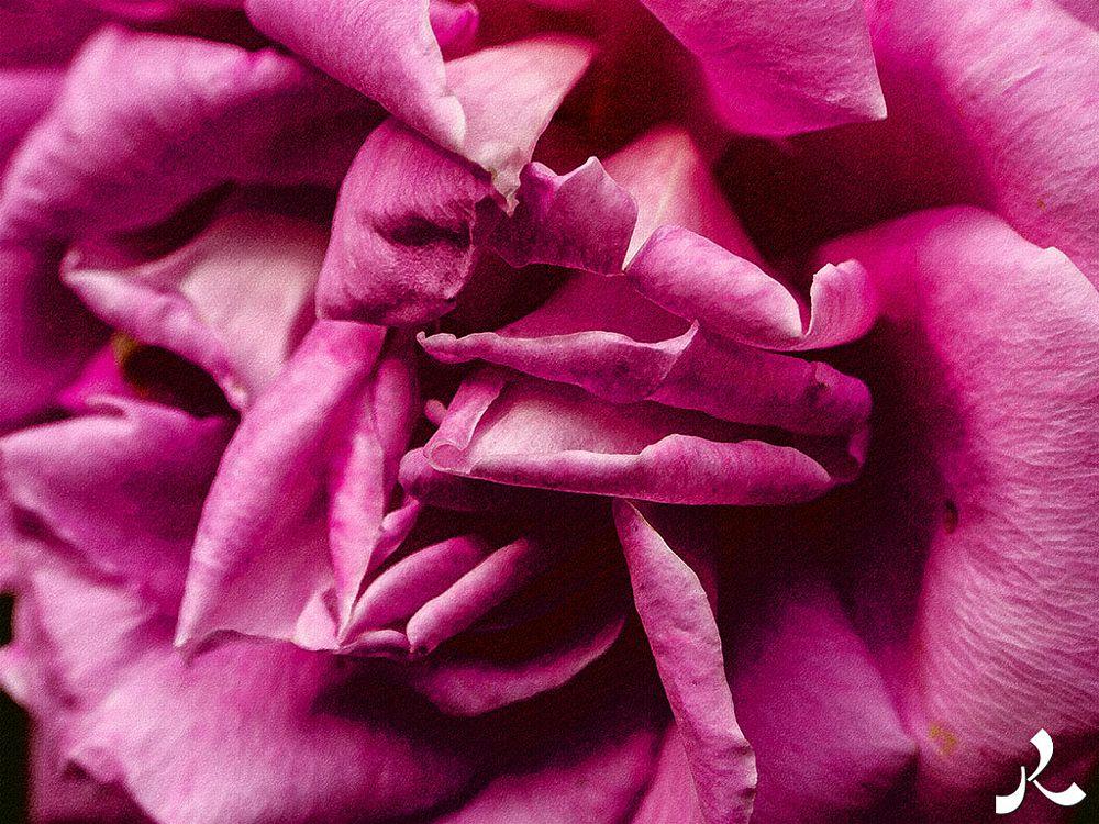 Photo in Nature #pink #rose #flower #garden #paris