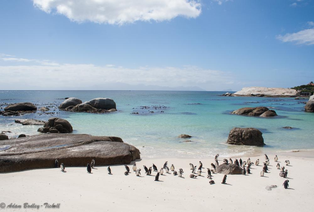 Photo in Animal #spheniscus demersus #african penguin #boulders penguin colony