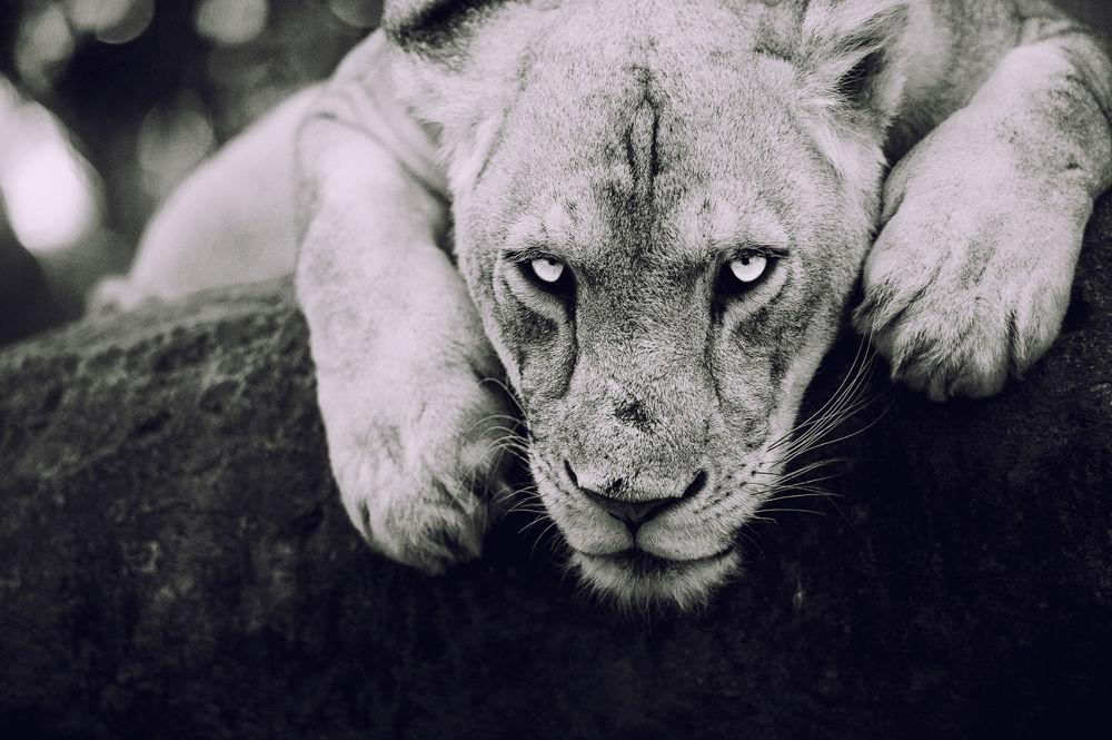 Photo in Nature #lion #nikon #bali #nature #eye #animals