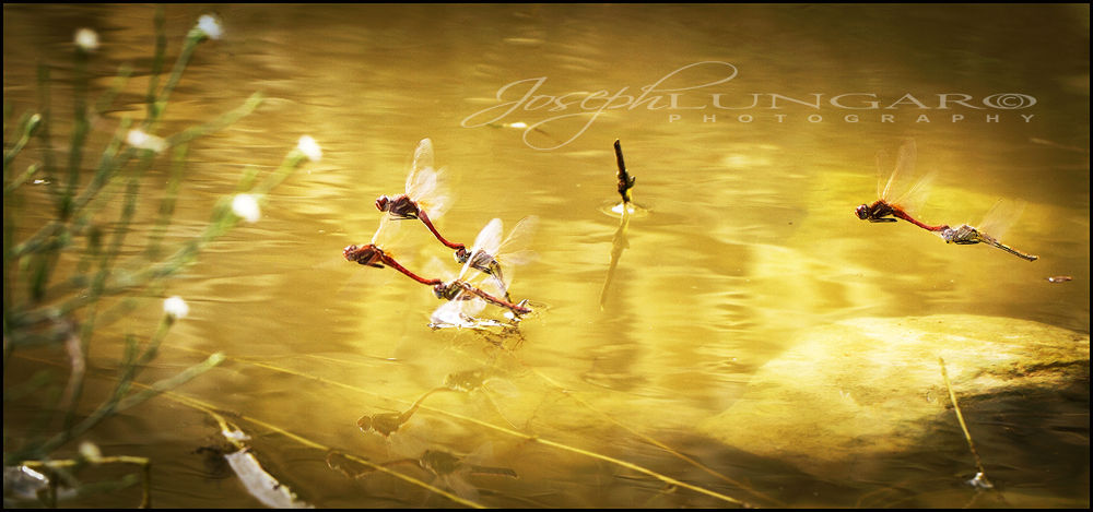 Photo in Nature #nature #dragonfly #dragonflies #lakes #water #ponds #malta #gozo