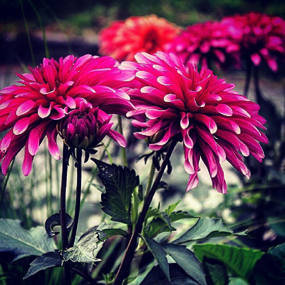 Photo in Nature #dahlia #flower #flowers #nature #outdoors #djurgården #stockholm #sweden #sverige