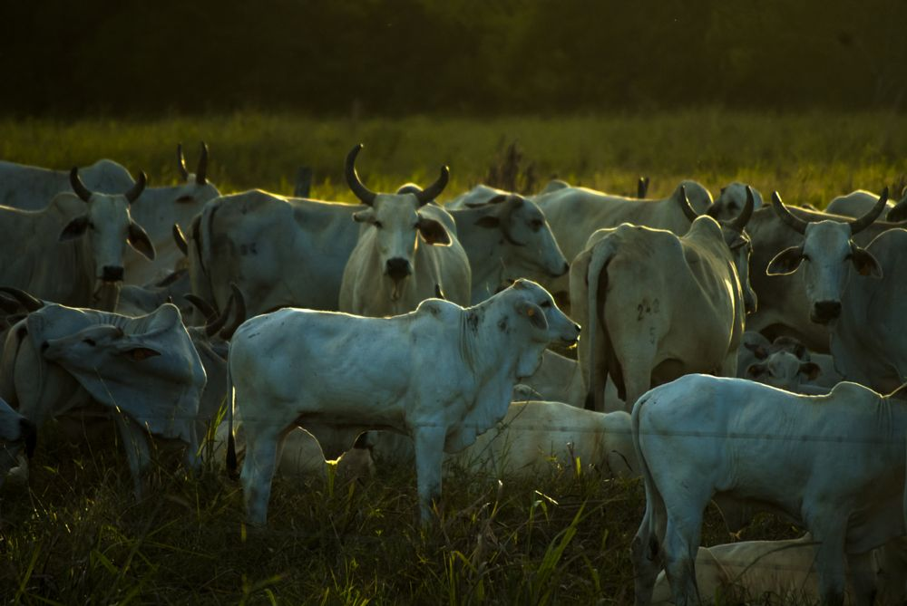 Photo in Animal #belize #cow #group #nikon #nikond200 #home #travel