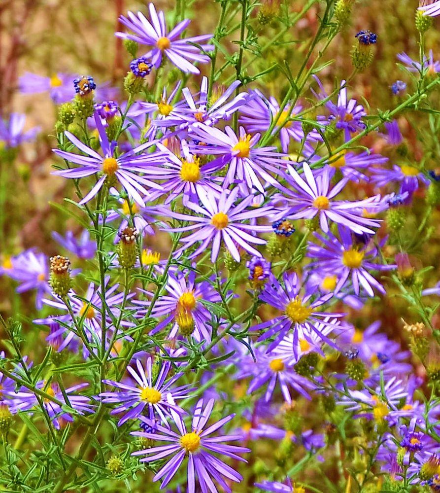 Photo in Nature #nature #desert #wildflowers #flowers #purple #adelaide.brownhay.1