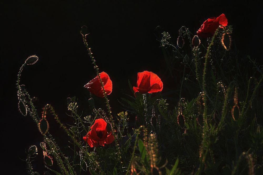 Photo in Random #pipacs #növény #piros