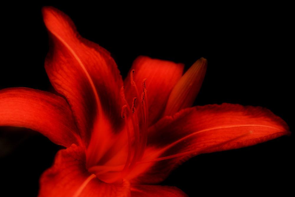 Photo in Nature #liliom #piros #virág