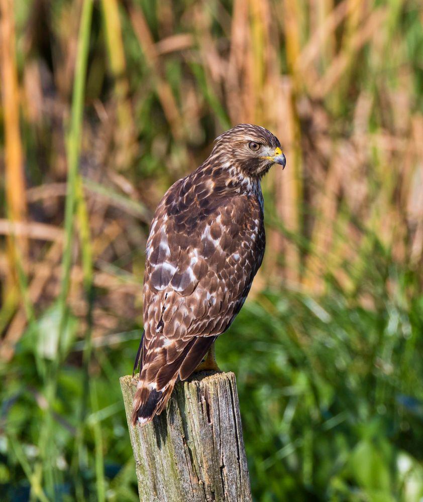 Photo in Animal #red shouldered hawk #raptor #bird #wildlife