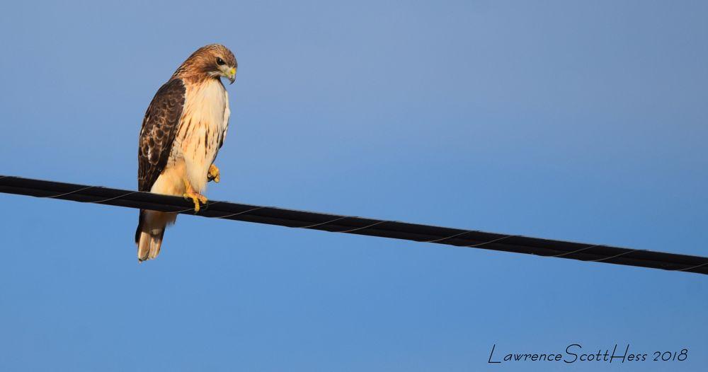 Photo in Nature #bird #hawk #wire #nature