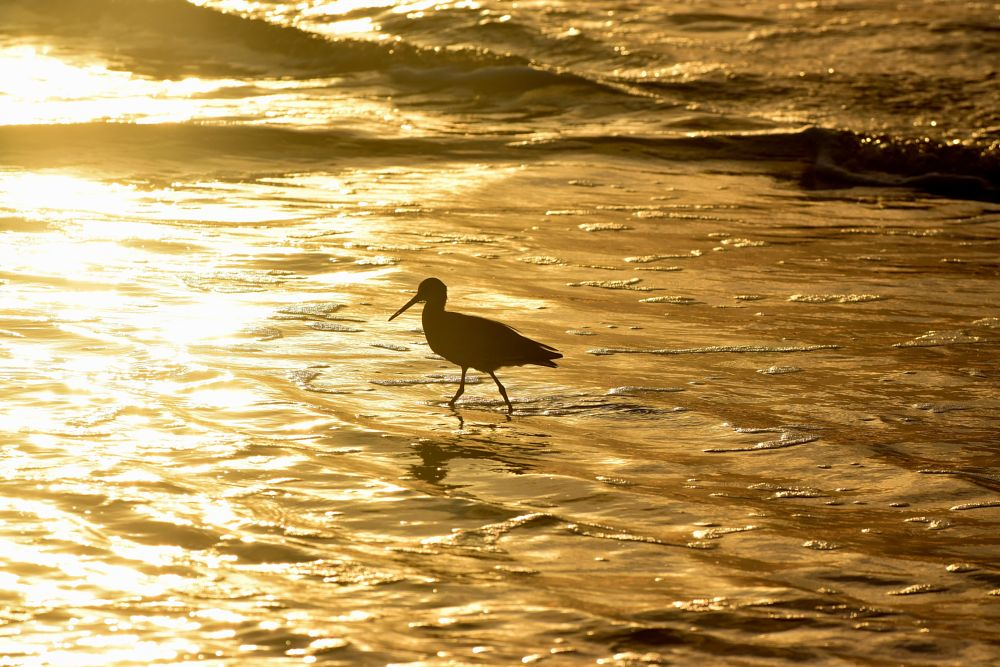 Photo in Nature #bird #birds #silhouettes #golden waters #ocean gold #waves #seagul #wildlife #nature #reflections #arkasnwhillbilly #google me: lawrence scott hess