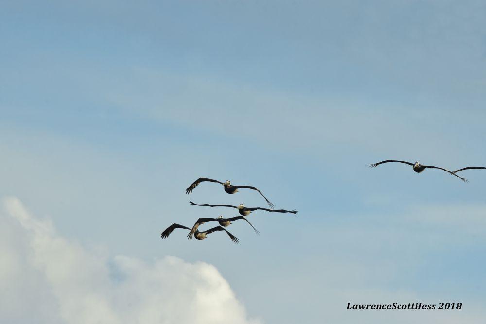 Photo in Nature #birds #coastal birds #pelicans #wings #nature