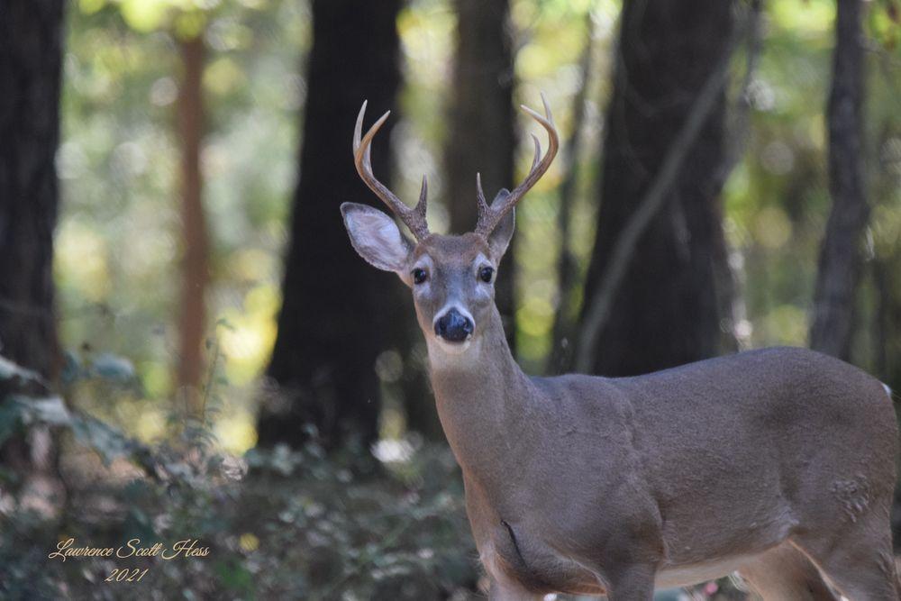 Photo in Nature #animal #wildlife #deer #buck #nature