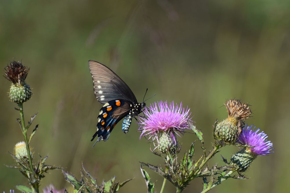 Photo in Nature #bugs #insects #butterfly #flowers #wild flowers #nature #arkansawhillbilly #google me: lawrence scott hess