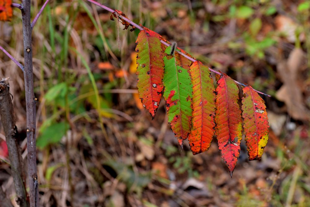 Photo in Nature #leaf #leaves #colored leaves #fall #autumn #nature #arkansawhillbilly #google me: lawrence scott hess