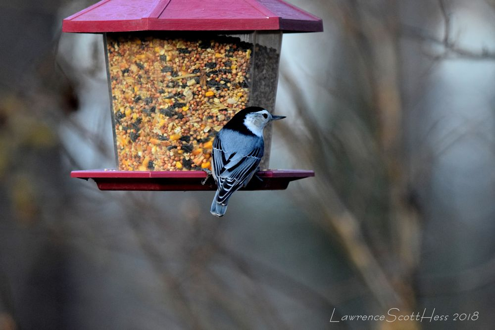Photo in Nature #bird #birdseed #nuthatch #nature