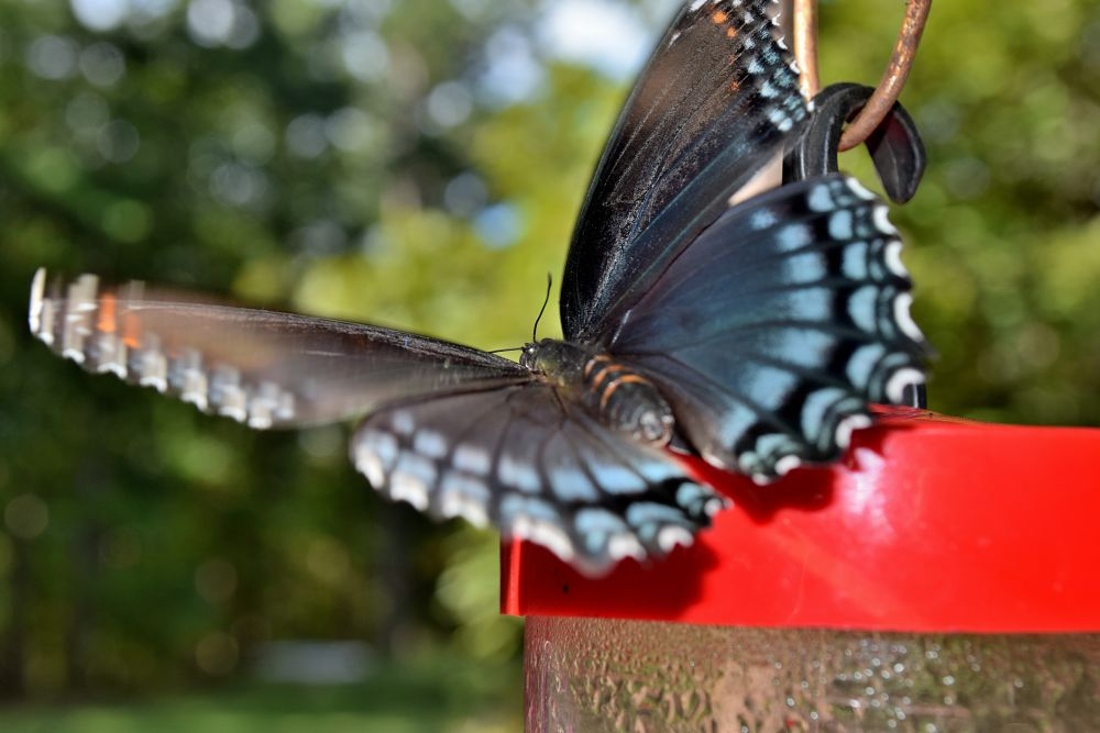 Photo in Nature #bugs #insects #butterfly #wings #pretty bugs #nature #arkansawhillbilly #google me: lawrence scott hess