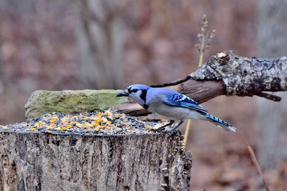 Photo in Nature #birds #pretty birds #blue jay #nature #arkansawhillbilly #google me: lawrence scott hess