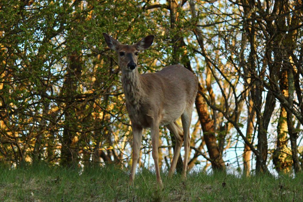 Photo in Animal #deer #virginia #sunset #skyline #park