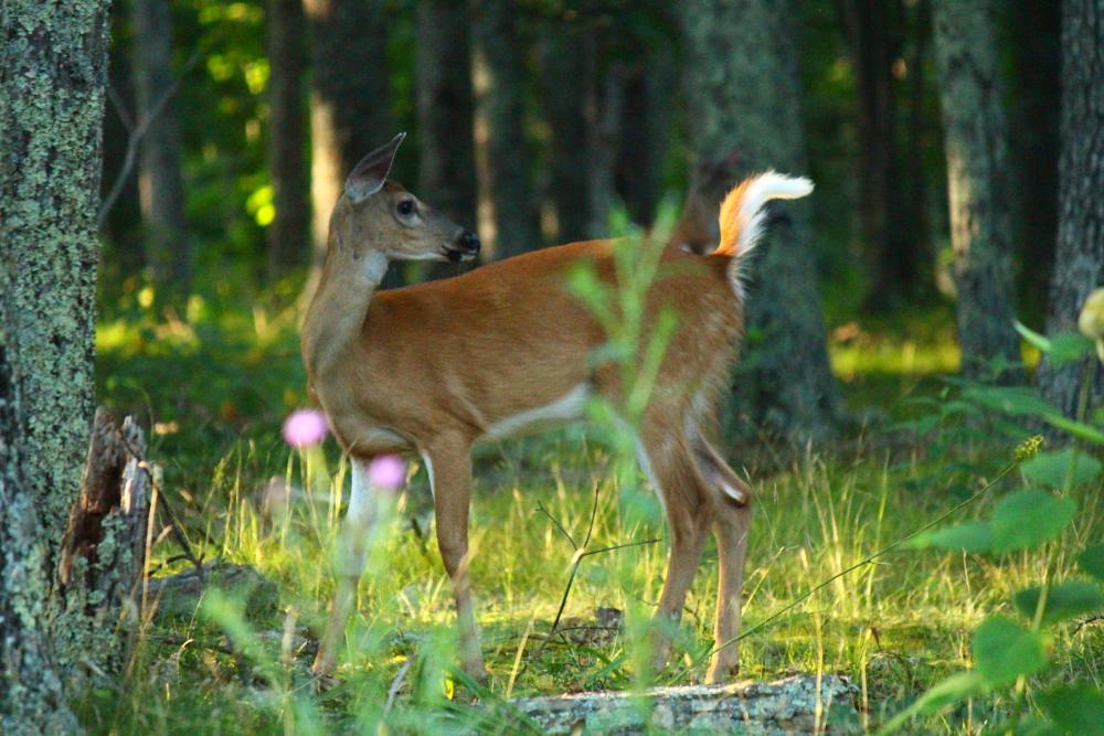 Photo in Animal #deer #doe #tree #woods #virginia #skyline #mountain