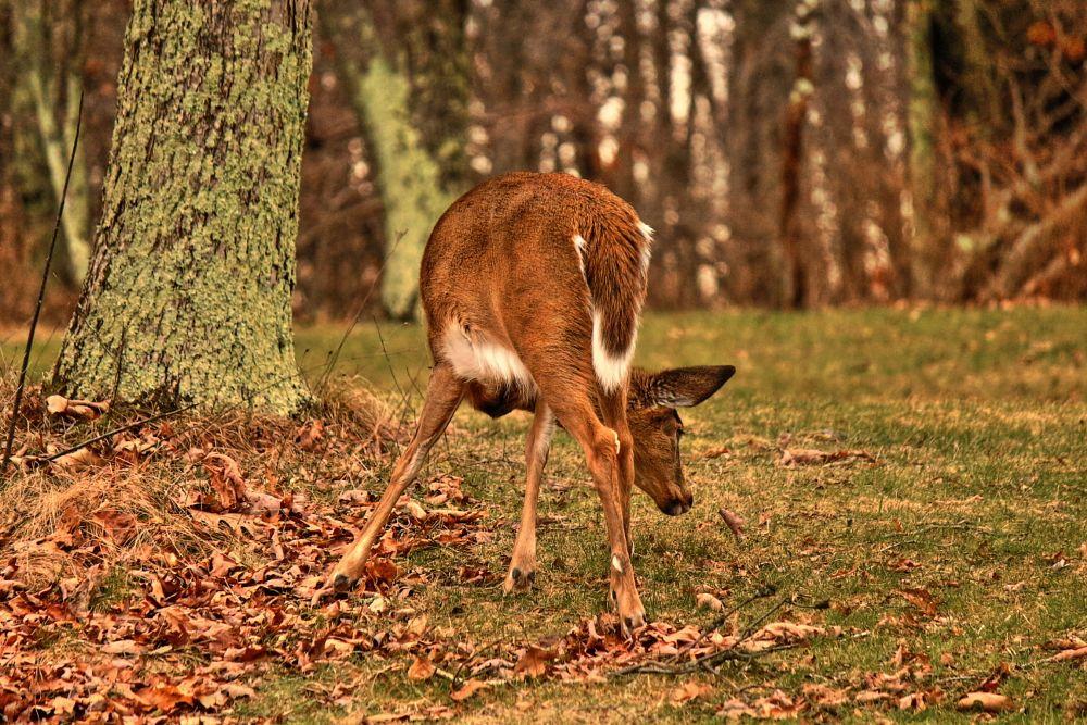 Photo in Animal #deer #doe #leaf #tree #skyline drive #virginia #bambi #grass