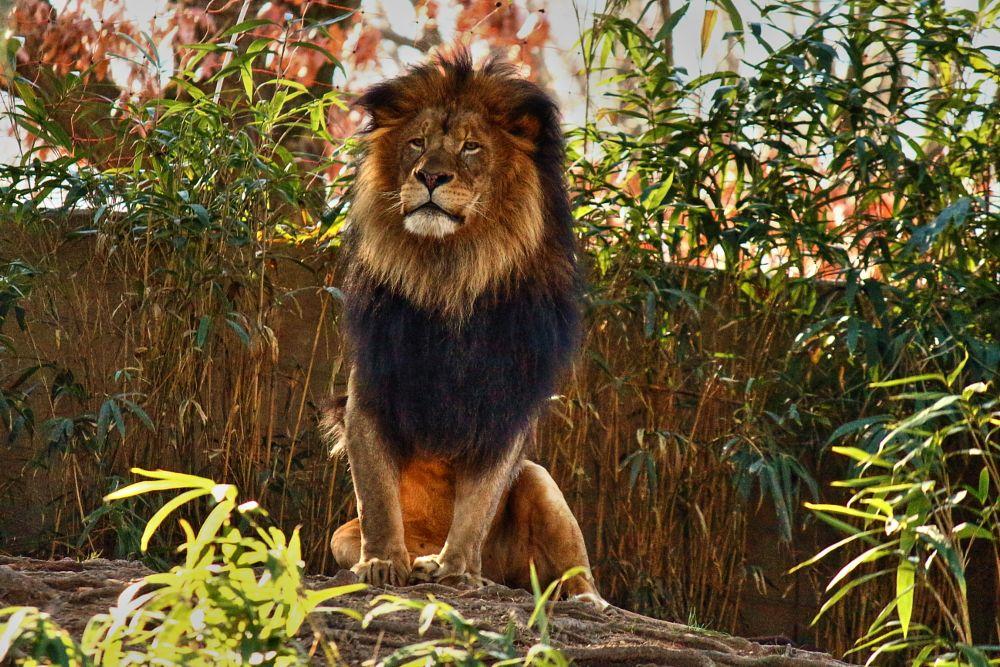 Photo in Animal #lion #male #king #mane #washington dc #zoo #smithsonian