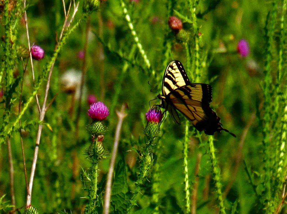 Photo in Nature #butterfly #insect #animial #nature #thistle