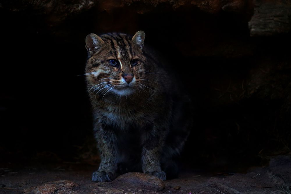 Photo in Animal #fishing cat #wild cat #animal #nature