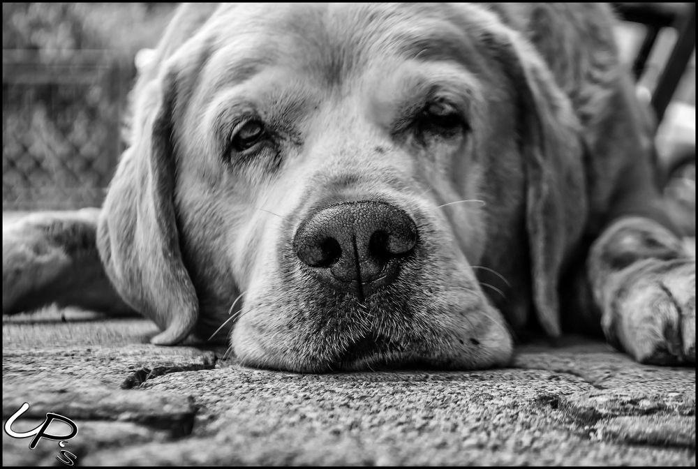 Photo in Animal #dog #dogs #animal #animals #uros #podlogar #uros podlogar #ups #up's #labrador #old #slo #slovenia #slovenija #ljubljana #bled